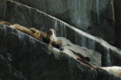 Sealions basking on rocky ledge Stock Photos