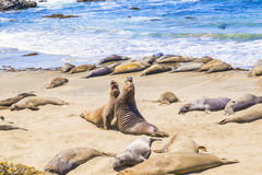 Sealions at the beach. Sealions at the sunny beach Royalty Free Stock Photos