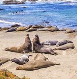 Sealions at the beach. Fighting Royalty Free Stock Images