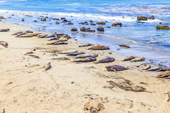 Sealions at the beach. Many male sea lions relay and sleep at the sandy beach Royalty Free Stock Images