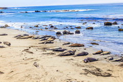 Sealions at the beach. Many male sea lions relay and sleep at the sandy beach Royalty Free Stock Photo