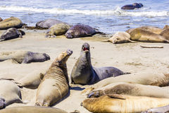 Sealions at the beach Royalty Free Stock Photography