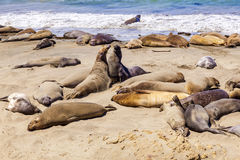 Sealions at the beach. Sealions at the sandy beach Stock Photos