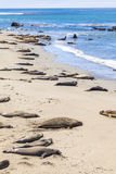Sealions at the beach Stock Image