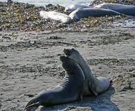 Sealions bonding Royalty Free Stock Photo