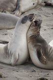 Sealions royalty free stock images