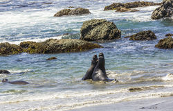 Sealions fighting in the ocean Stock Images