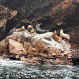 Sealions i Isla Ballestas - Paracasen - Peru Arkivbilder