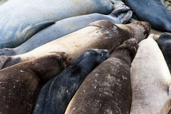Sealions Royalty Free Stock Image