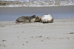 Sealions Royalty Free Stock Photography