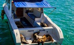 Sealions på Galapagosen fotografering för bildbyråer
