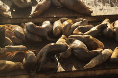 Sealions  in the  piers 39, San-Francsico. Sealions  in the  piers 39, Fisherman's Wharf, San-Francsico,USA Stock Photos