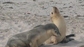 Sealions przy plażą w kangur wyspie, Australia zdjęcie wideo