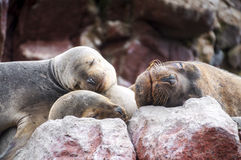 Sealions pup sleeping on a rock Royalty Free Stock Photo