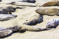 Sealions relax at the beach Royalty Free Stock Photography