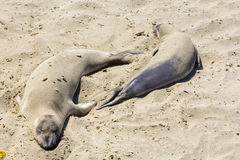 Sealions relaxing at the beach in California Royalty Free Stock Photos