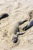 Sealions relaxing at the beach Stock Photography