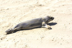 Sealions relaxing at the beach Stock Photos