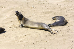 Sealions relaxing at the beach Stock Photo