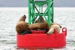 Sealions Resting. Marine life Royalty Free Stock Photography