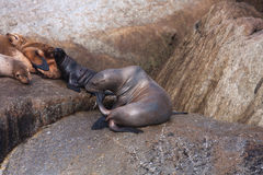 Sealions scratching Royalty Free Stock Image
