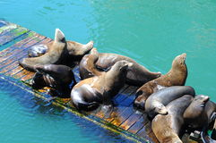 Sealions on a wooden pier dock Royalty Free Stock Images