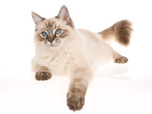 Sealpoint lynx Ragdoll lying on white background. Sealpoint lynx Ragdoll cat lying down on white background Stock Photography