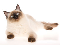 Sealpoint Ragdoll lying on white background Stock Images