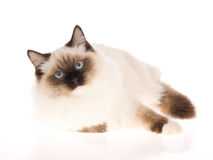 Sealpoint Ragdoll se trouvant sur le fond blanc Photos stock