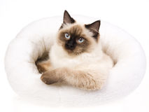 Sealpoint Ragdoll in white fur bed Royalty Free Stock Photography