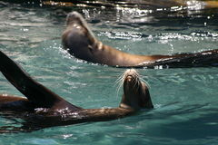 Seals. Swimming together Stock Photos