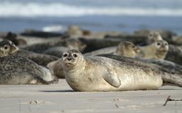 Seals Royalty Free Stock Photo