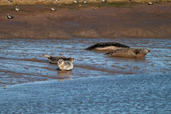 Seals. Four Wild Seals Resting on a Riverbank Stock Images