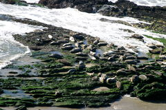 Seals (5313). Seals at the coast at the Carpinteria Harbor Seal Rookery Royalty Free Stock Photo