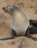Seals Royalty Free Stock Photos