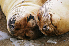 Seals. Taken in Cambria where elephant seals come into shore and relax and sleep Stock Photos