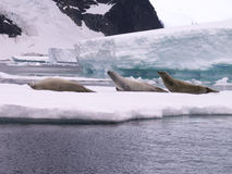 Seals in Antarctica Stock Image