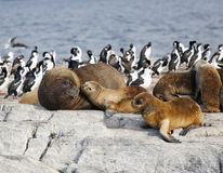 Seals in Antarctica. Seals resting on the rock in Antarctica Royalty Free Stock Photography