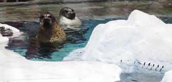 Seals in the aquarium Royalty Free Stock Photo