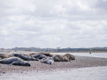 Seals At Blakeney Point Norfolk Royalty Free Stock Photos