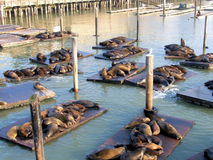 Seals At San Francisco Stock Photography