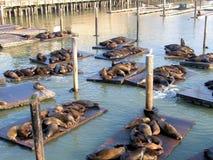 Free Seals At San Francisco Stock Photography - 15259022