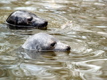 Seals  baby. Seal - Halichoerus grypus Stock Images
