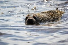 The seals are back in the wild stock photos