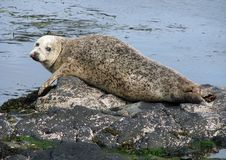 Seals basking in the harbor of Rathlin island stock photo