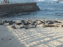 Seals basking on a La Jolla Beach CA Royalty Free Stock Images