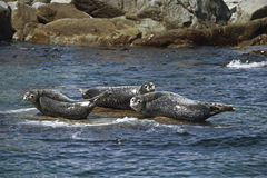 Seals basking on a rock in the summer sun. Stock Image