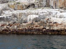 Seals basking on rocky ledges. Of ice near Seward, Alaska Stock Images