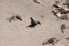 Seal Family. Seals basking on the sand stock image