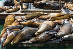 Seals Basking in the Sun Royalty Free Stock Image